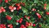 10%多酚玫瑰果提取物批發價格