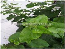 厂家供应牛蒡子提取物(牛蒡苷苷)85%,70%,30%